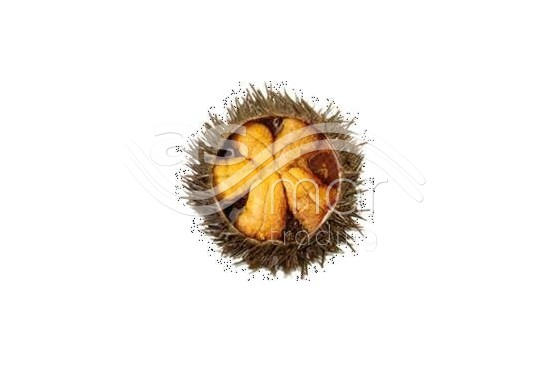 Canned Sea Urchin
